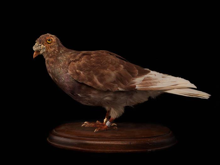 kaiser-military-pigeon