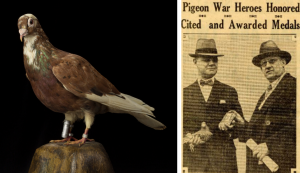 "On the right is a side profile of taxidermy brown and gray pigeon with a small cylinder vial attached to one leg. On the left is a yellowed image of a newspaper cut out from the Washington Herald, March 22, 1931. The article is titled ""Pigeon War Heroes Honored. Cited and Awarded Medals."" The article contains one photo of two men. The on the right is one man holding Mocker in one hand while he accepts an award in his other hand. The man on the right is presenting the award."